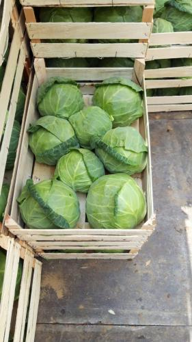 Young Spring Cabbage