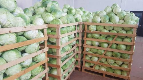 Cabbage for Poland