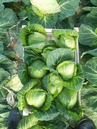 spring cabbage 2020 export