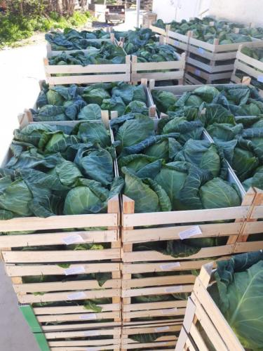 spring cabbage to poland 2020